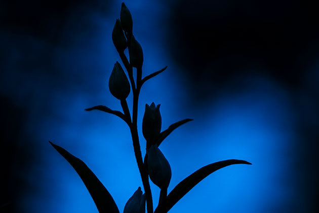Photo Insight with Robert Canis: White Helleborine at twilight