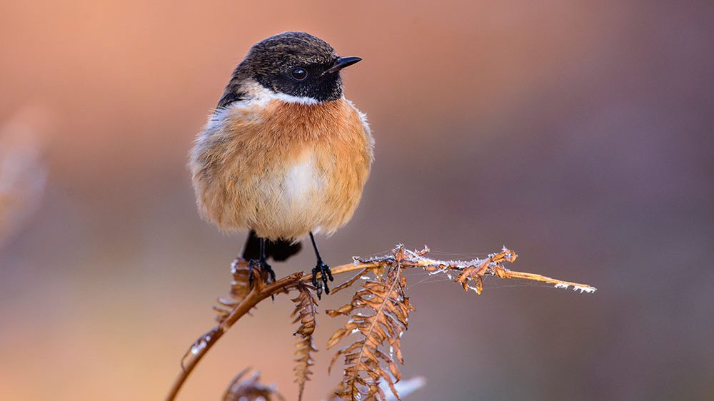 Wildlife Watch: How to photograph stonechats