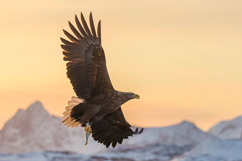 Lofoten Islands white-tailed eagle