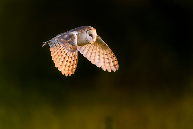Owl be back: get great shots of barn owls