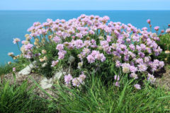 Viewpoint John Gilby sea thrift