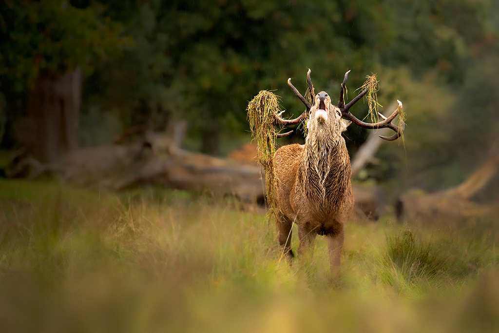 stag roar after