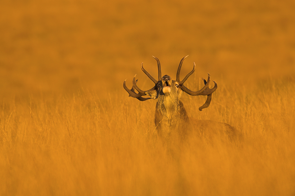 How to capture the red deer rut 1