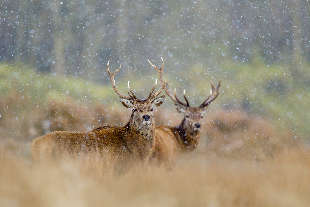 red deer stags with snowflakes