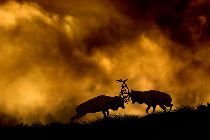 How to capture the red deer rut