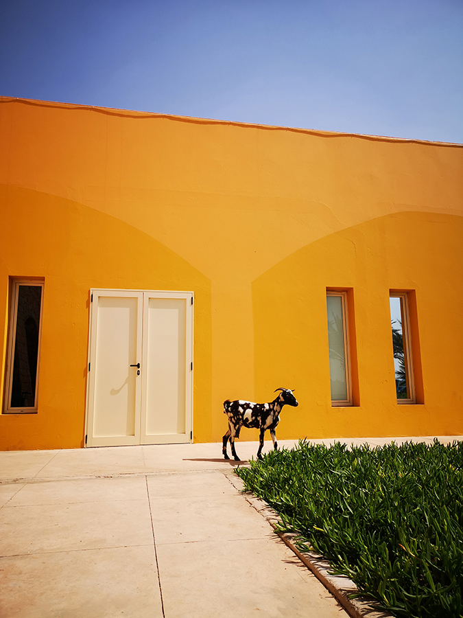 bright yellow building with black and white goat, street smartphone photograph