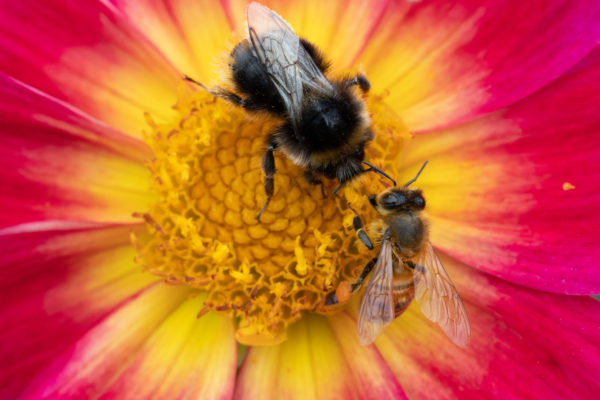 Close-up of two bees, shot with the Canon RF 100mm F2.8L Macro