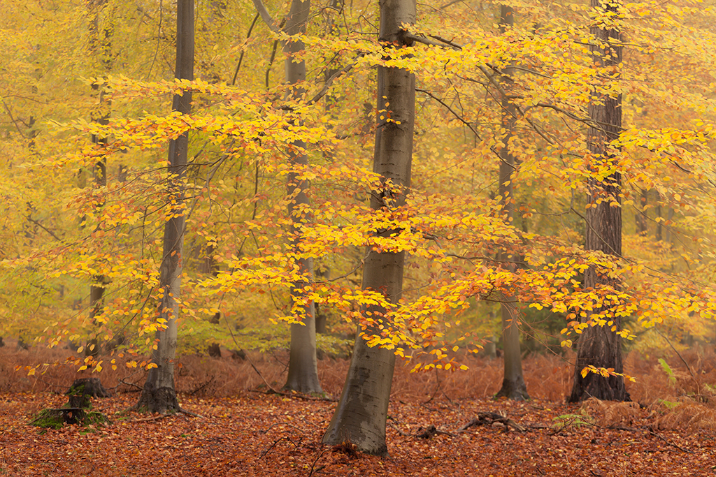 Lynford Stag, Thetford Forest in autumn