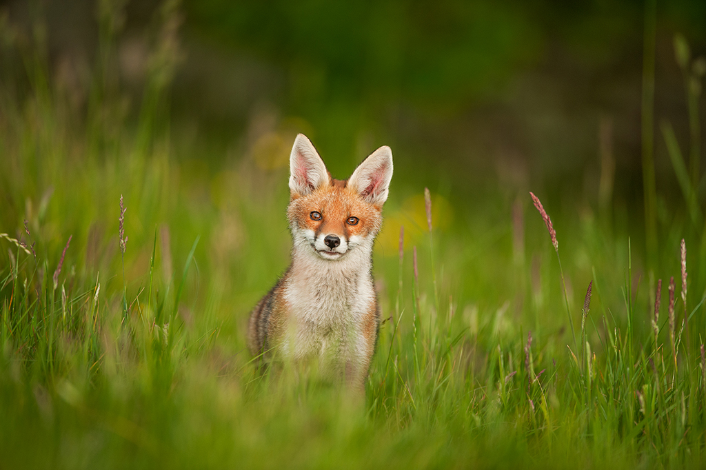 Photographing foxes: new book features fantastic imagery 1