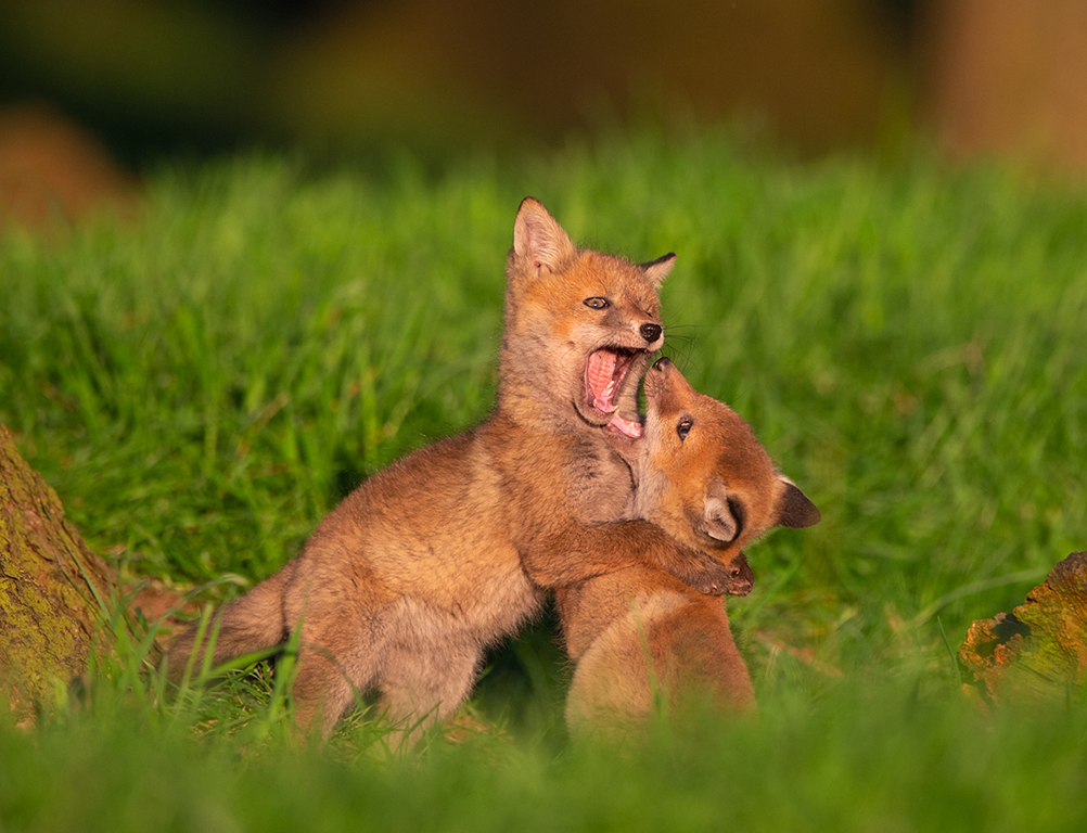 Photographing foxes: new book features fantastic imagery 4