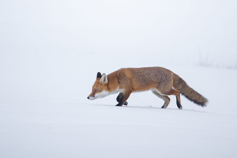 Photographing foxes: new book features fantastic imagery