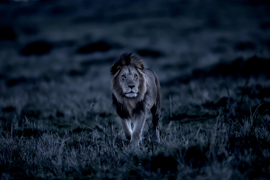 Art Wolfe African lion is shown in the muted light of evening in Masai Mara National Reserve in Kenya