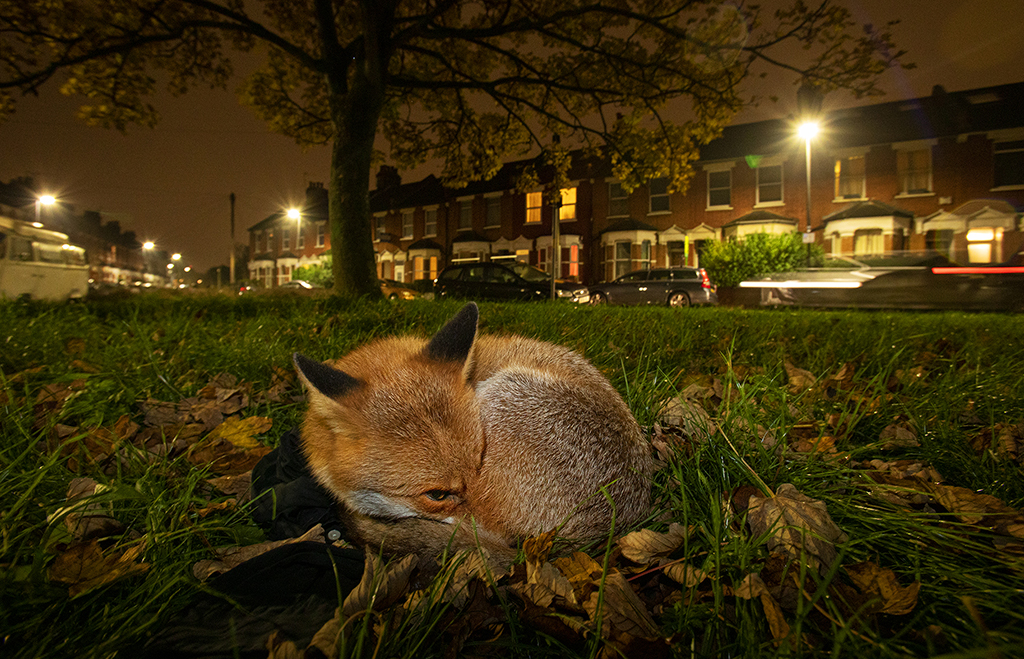 Photographing foxes: new book features fantastic imagery 7