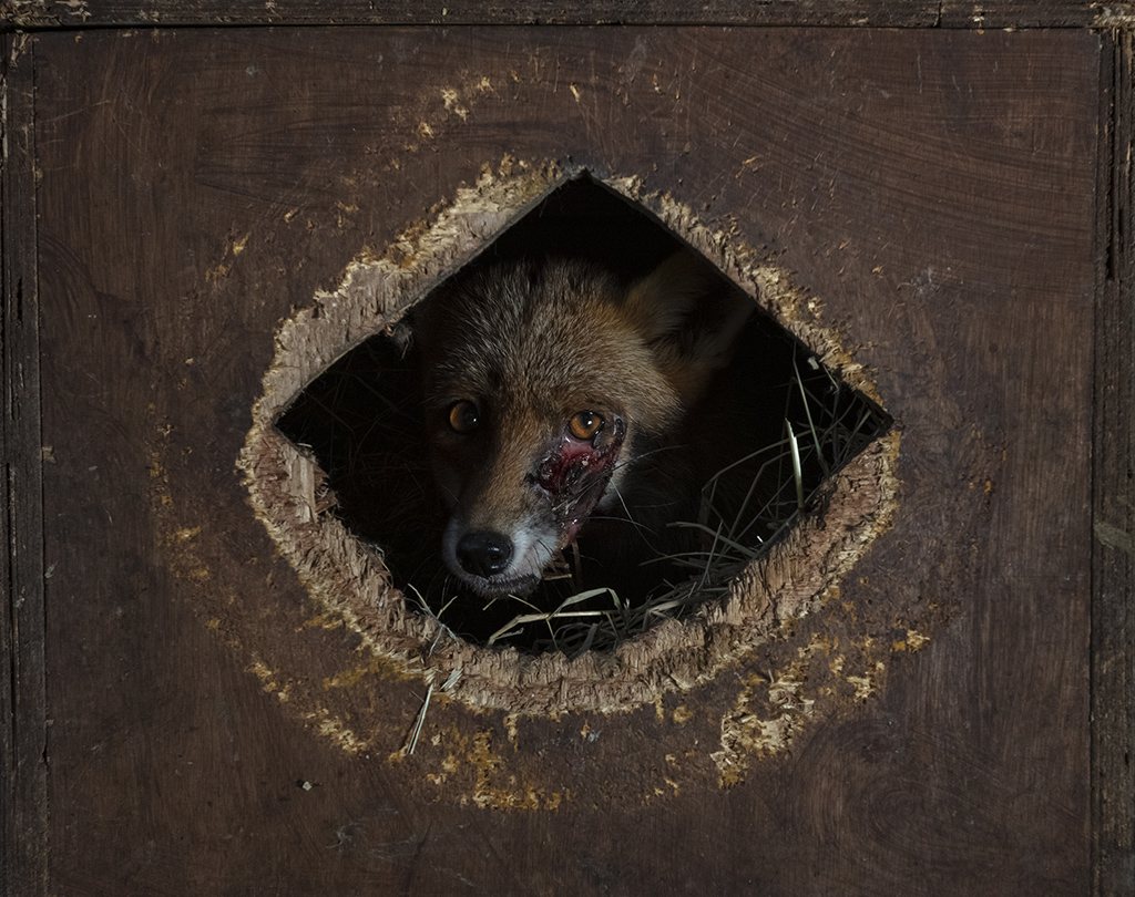 Photographing foxes: new book features fantastic imagery 5