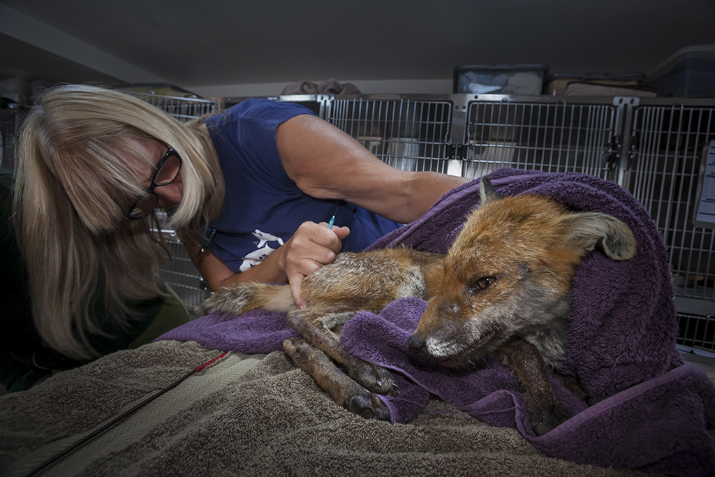 Photographing foxes: new book features fantastic imagery 2