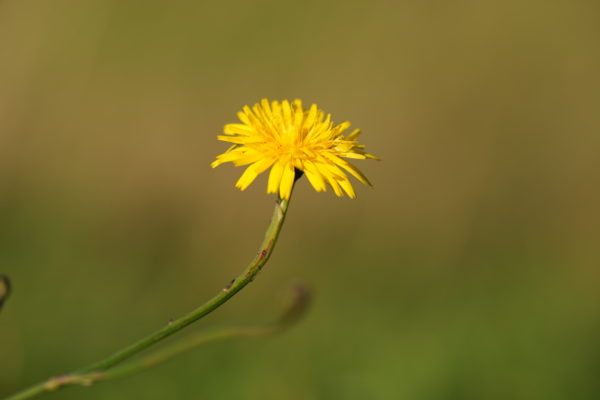 Dandelion Flower, closest focus at 200mm, 1/800s, f/5, ISO100, Sony 70-200mm at 200mm, with Sony A1