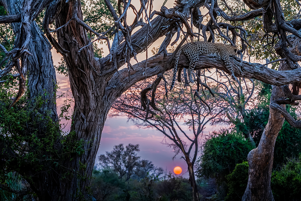 leopard in an ancient thorn tree in Chobe National Park, Botswana, Africa by Art Wolfe