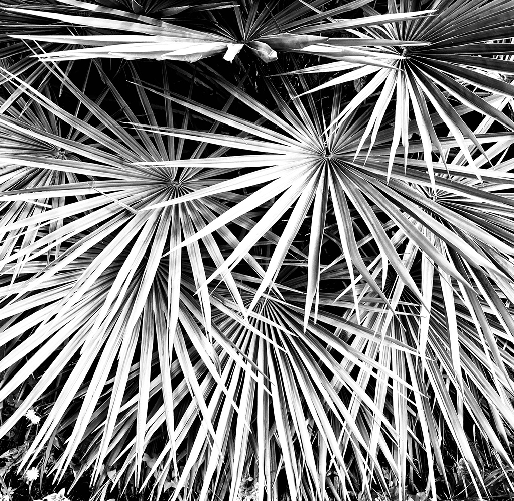 No. 168 of Project365. Perfectly geometric palm fronds. 2021